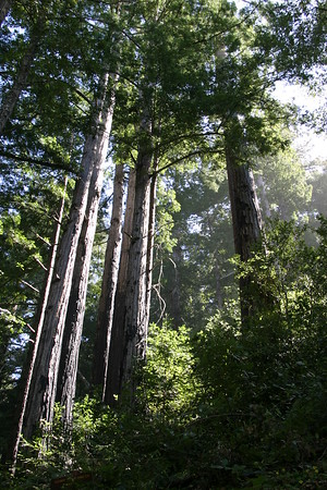 Coast Redwoods. Not as large as nearby Giant Sequoias, but anybody older than the Roman Empire is impressive in my book.