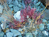 Red rock plant.
