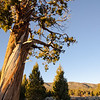 """<span id=""""title"""">Big Tree</span> Is this a sequoia? It looks like one, but I'm not sure. It's unlike any of the trees around it though."""