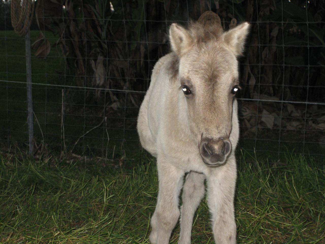 6 week old miniature horse. Shortly before I shocked it.