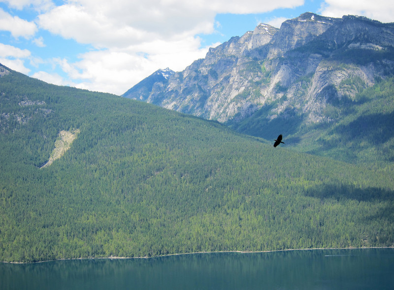 A vulture above Slocan Lake.