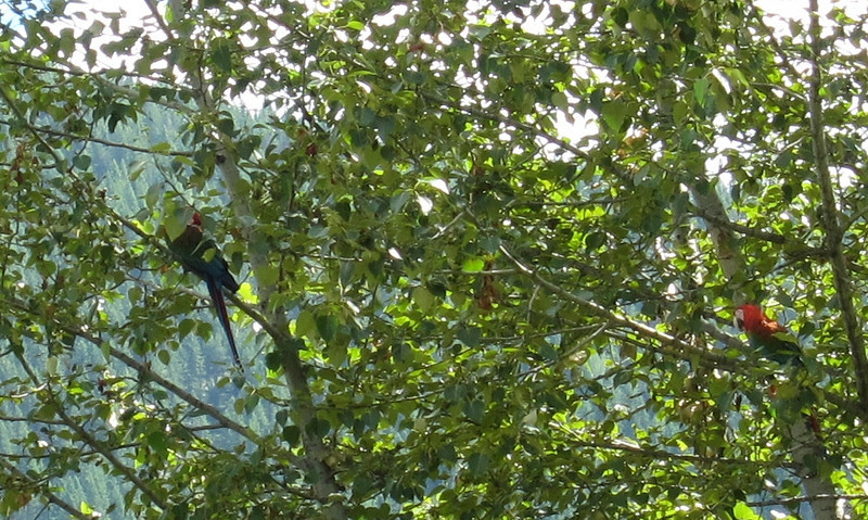 A couple more macaws on the other side of the highway.
