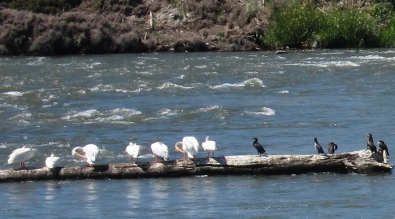 Closeup of white pelicans and cormorants.