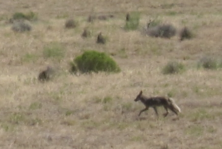 A coyote just a few miles north of Richland.
