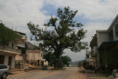 How does a tree like this survive the building of a town and a road right around it? They cut almost everything else down in the area, so why not this one?