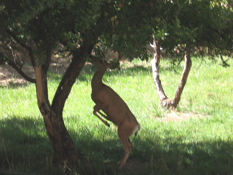 Fruita, Utah is a historic fruit-growing community, now a ghost town. It's now part of Capitol Reef National Park, and the orchards are kept up. Here's a deer standing on her hind legs to get apples.