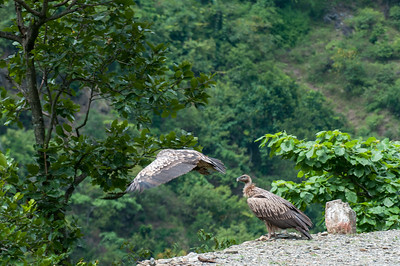 Birds of prey not far from Dandeshwar temple, Binsar, Uttarakhand, India.