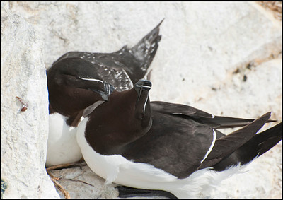 Birding on the Farne Islands