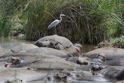 Grey Heron with Hippos