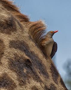Tick Bird on Giraffe