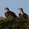 Lapet Vulture