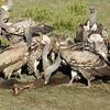 Buzzards at a Kill