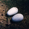 Females lay one or two eggs each year.