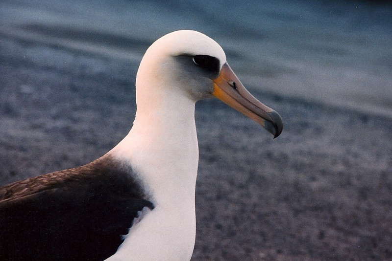 "A Laysan Albatross, or ""White Gooney"" at Midway."