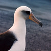 """A Laysan Albatross, or """"White Gooney"""" at Midway."""