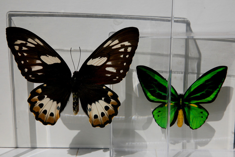 Female Ornithoptera Priamus is 40% larger than male.