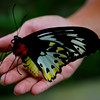 Female Ornithoptera Priamus in nursery at Bali Butterfly Park.