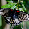 Male Papilio Memnon, in Sumatran forest reserve.