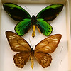 Male and female Ornithoptera Allottei at the Bishop.