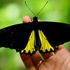 7-inch Helena Birdwing from Sulawesi, at Bali Butterfly Park.