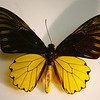 Triodes Amphyymus birdwing from Java, at the Bishop.