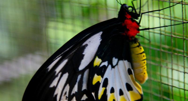 Female Ornithoptera Priamus has crimson collar.