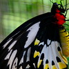 Female Ornithoptera Priamus has crimson collar.