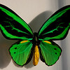 Male Ornithoptera Priamus lives only two weeks.
