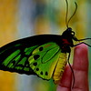 Male green birdwing, or Ornithoptera Priamus.
