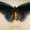 The blue birdwing, Troides Urvilliana.
