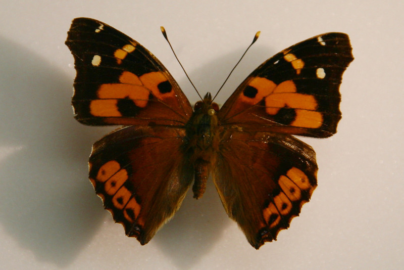 Vanessa Tameamea, or Kamehemeha Butterfly, one of two indigenous Hawaiian butterflies (Bishop Museum).