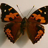 Vanessa Tameamea, or Kamehemeha Butterfly, one of two indigenous Hawaiian butterflies (Bishop Museum).