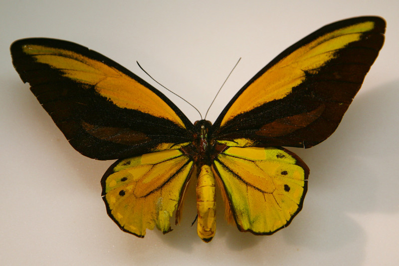 Croesus birdwing exists only on tiny island of Batjan in Indonesia, where it was first seen by Alfred Russel Wallace.
