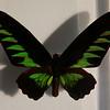 Rajah Brooke's Birdwing, from Kuching, Sarawak, Borneo.