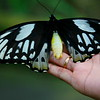 8-inch female Ornithoptera Priamus at Bali Butterfly Park.