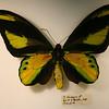 """Wallace called butterlflies """"diurnal lepidoptera."""""""