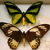 Male and larger female of Ornithoptera Priamus Chimera.