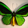 Ornithoptera Priamus sub-species at the Bishop Museum.