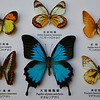 Collection with Blue Triangle Papilio and Ulysses Papilio.