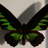 "Wallace named this birdwing for James Brooke, the ""White Rajah"" whose family ruled Sarawak for 100 years."