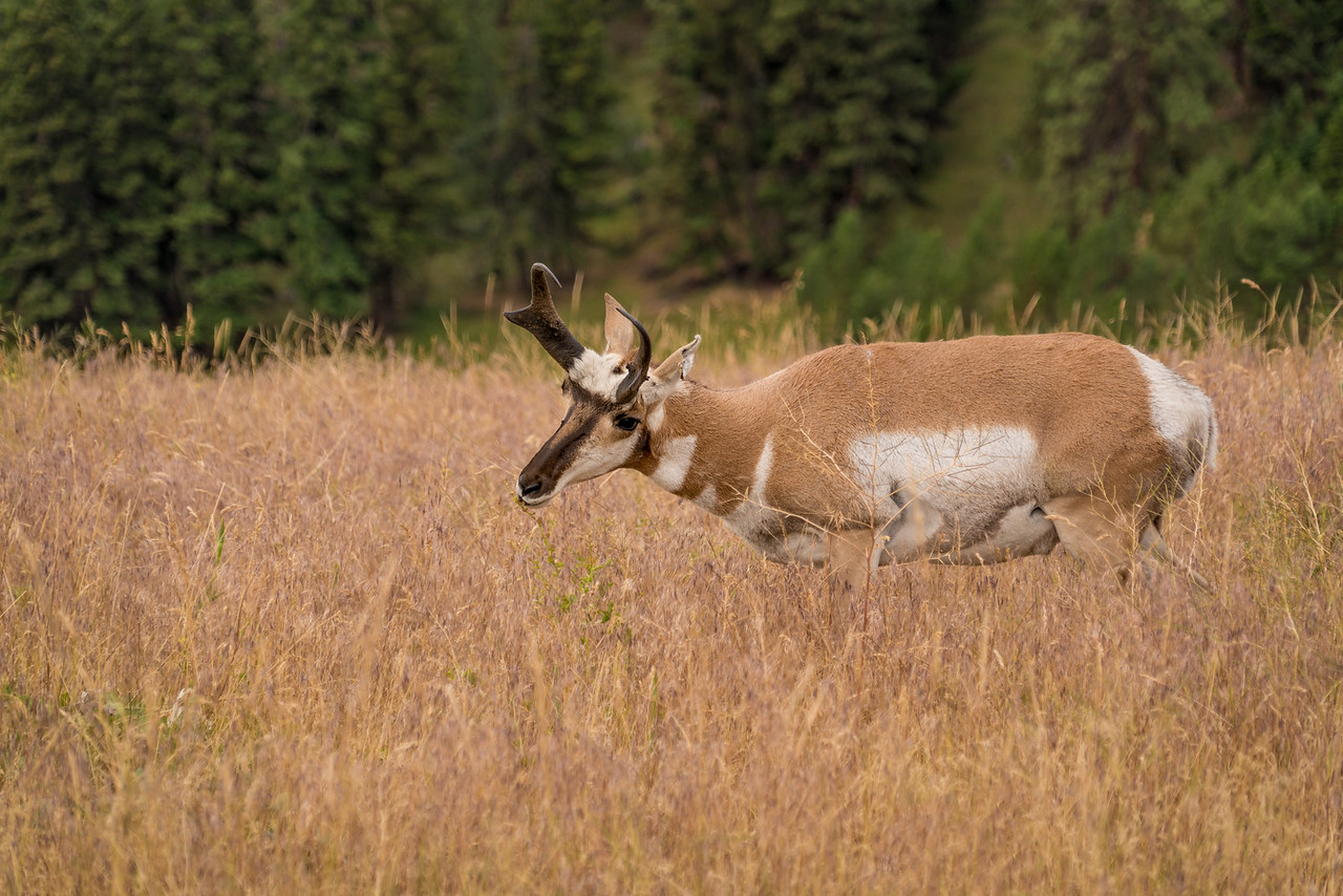 Antelope Eating