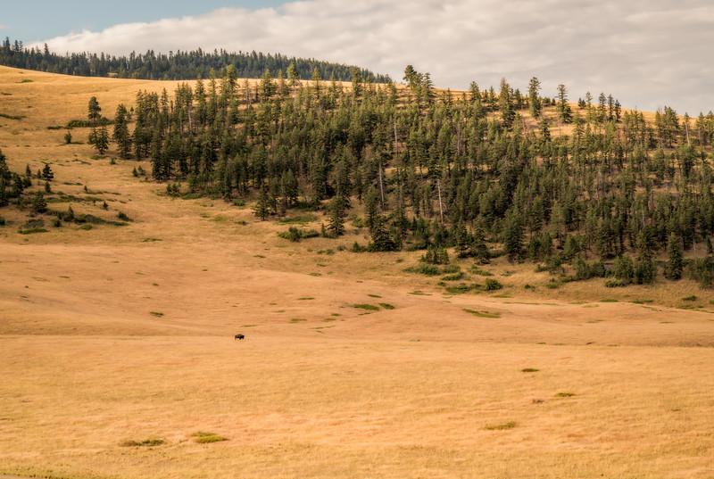 Lone Bull In The Meadow