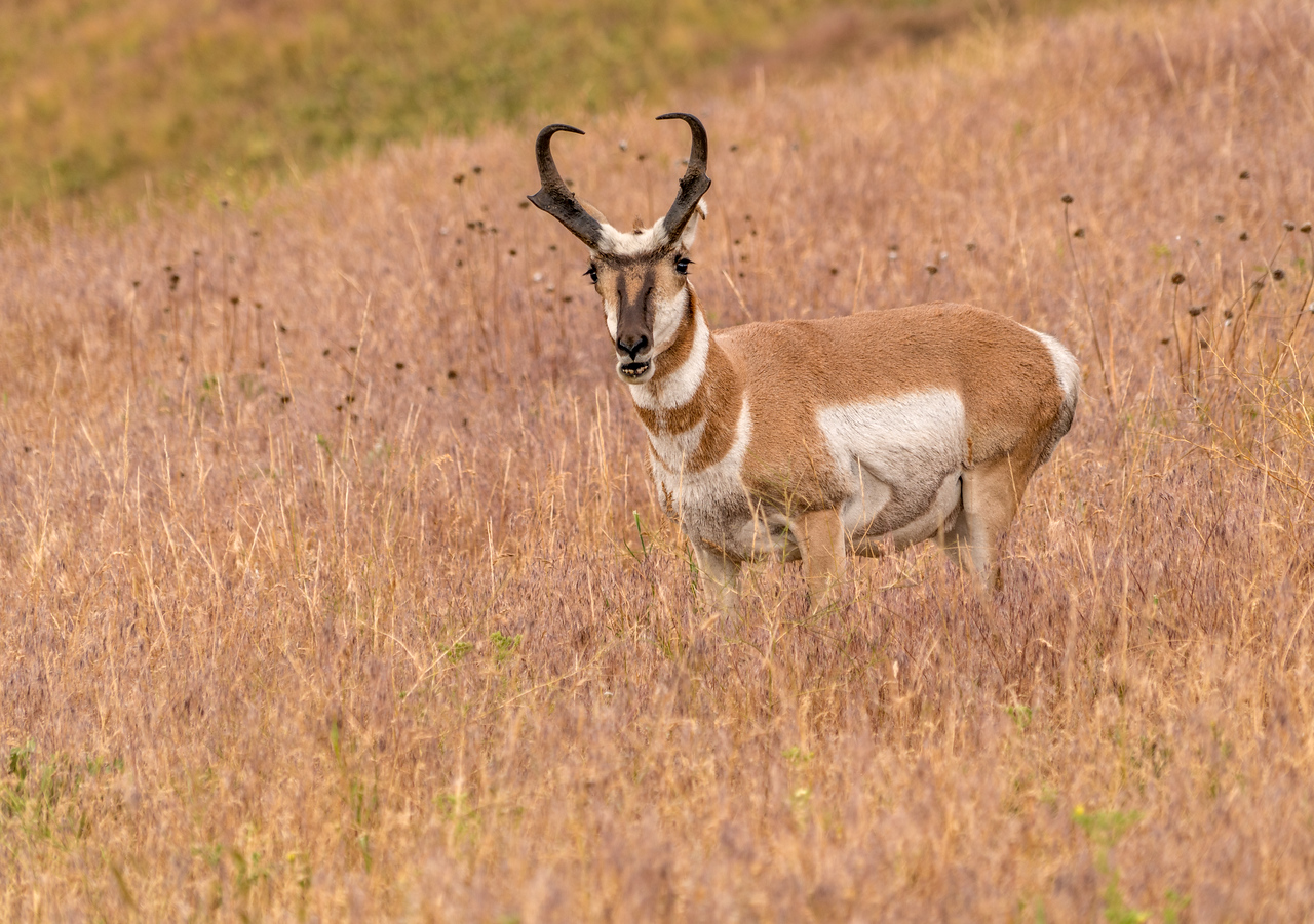 Full Antelope Shot