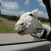 Burro Looking for Food