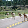 Pronghorns Crossing