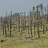 Fire Damaged Trees