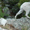 Goats on Mt. Rushmore