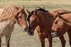 Wild Horses 100