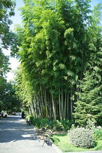 Bamboo forest in 1881 Boulevard park, Batumi, Georgia. _DSC4739