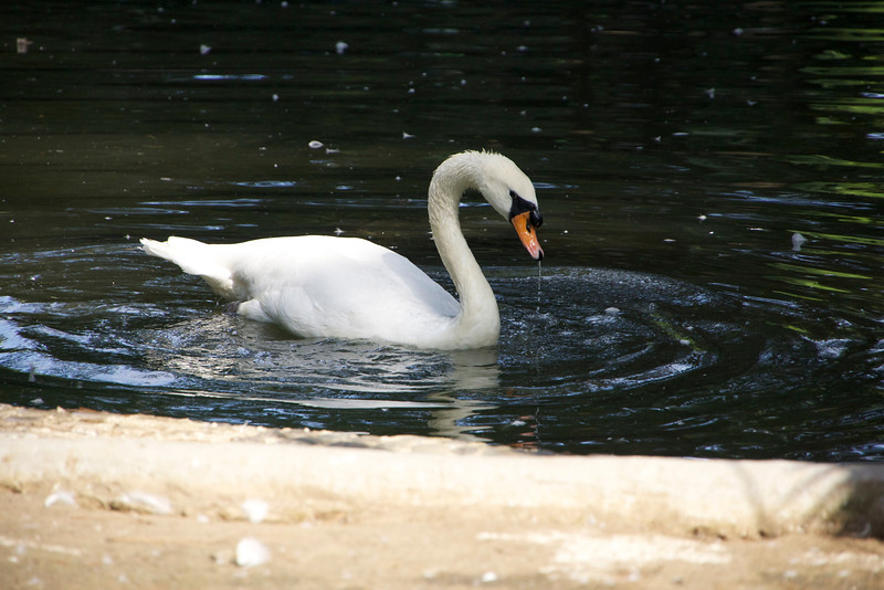 Swan at seaside park, Batumi, Georgia. _DSC4756